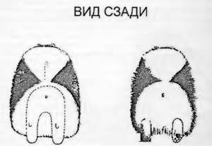 """Стандарт породы """"Померанский шпиц"""""""
