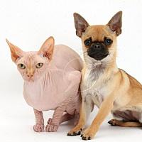 Чихуахуа с котами уживаются