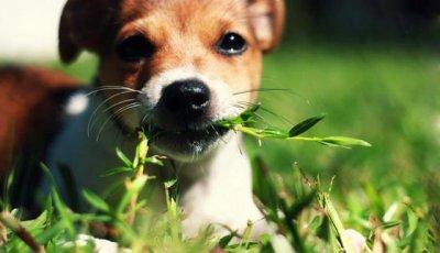 Собака ест траву?